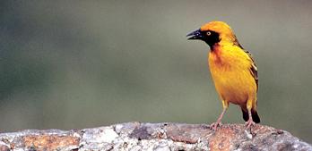 Flaggermuspetrellen er en av 10 000 fuglearter som nå har et norsk navn.